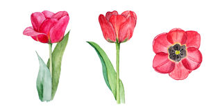 Botanical watercolor illustration sketch of three red tulips on white background Stock Image