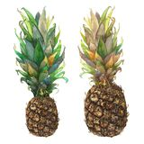 Botanical watercolor illustration of tropical fruit pineapple with colorful leaves isolated on white background. Could be used as decoration for web design royalty free illustration