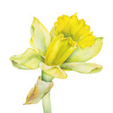 Botanical watercolor illustration of yellow narcissus on white background. Could be used for web design, polygraphy or textile Stock Photo