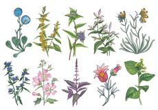 Botanical watercolor set of forest and meadow flowers. Watercolor botanical set of forest and meadow flowers royalty free illustration