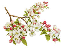 Free Botanical Watercolor With Apple Tree In Blossom Stock Photo - 53822090
