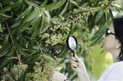 Botanico che controlla la crescita dei fiori del mango Fotografie Stock