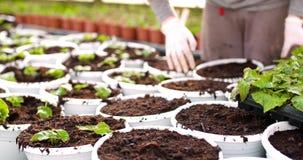 Botanico maschio che pianta gli alberelli in vasi stock footage