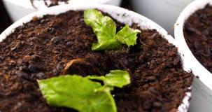 Botanico maschio che pianta gli alberelli in vasi archivi video