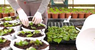 Botanico maschio che pianta gli alberelli in vasi video d archivio