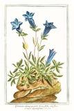 Botaniczna rocznik ilustracja Gentiana alpina pumila brevi foliałowa roślina Zdjęcia Royalty Free