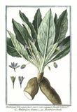 botaniczna rocznik ilustracja Mandragora roślina Fotografia Royalty Free