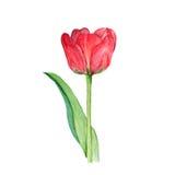 Botanicznej akwareli ilustracyjny nakreślenie czerwony tulipanowy kwiat na białym tle Zdjęcie Royalty Free