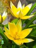 botaniczni tulipany Zdjęcia Royalty Free