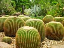 botanicznych kaktusów ogrodowy gigant Fotografia Royalty Free