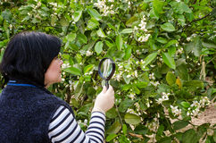 Botaniker som kontrollerar citronblomningen Arkivbilder