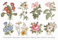 Botanikuppsättningblommor som drar kamomill för petunia för heliotrop för hibiskus för primula för illustration för gravyrvektorv stock illustrationer