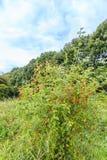 Botanisch, stieg Rosa-rubiginosa im Abschluss oben lizenzfreie stockfotos