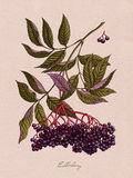Botanische Illustration des Holunderbeeraquarells Stockfoto