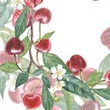 Botanische Illustration des Kirschrahmens Kartendesign mit Kirschblumen und -blatt Botanische Illustration des Aquarells Lizenzfreie Stockbilder