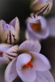 Botanische krokusbloem met zachte nadruk Royalty-vrije Stock Afbeelding