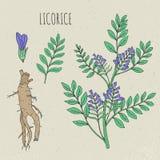 Botanische lokalisierte Illustration des Süßholzes Anlage, Blätter, Wurzel, gezeichneter Satz der Blumen Hand Weinleseskizze bunt lizenzfreie abbildung