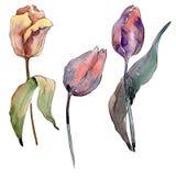 Botanische mit Blumenblumen der roten purpurroten Tulpe Aquarellhintergrund-Illustrationssatz Lokalisiertes Tulpenillustrationsel vektor abbildung