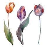 Botanische mit Blumenblumen der roten purpurroten Tulpe Aquarellhintergrund-Illustrationssatz Lokalisiertes Tulpenillustrationsel stock abbildung