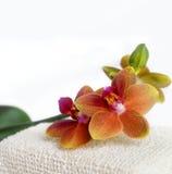 Botanische noch Lebensdauer des Badekurortes schoss von der Orchidee lizenzfreie stockfotos