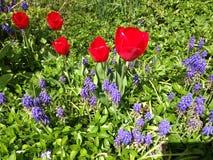 Botanische tuin rode tulpen Royalty-vrije Stock Fotografie