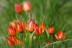 Botanische tulpen op een groen gebied Royalty-vrije Stock Fotografie