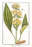 Botanische Weinleseillustration bedeutender lutea Enziananlage Lizenzfreie Stockbilder