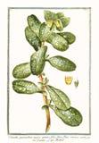 Botanische Weinleseillustration von Cerinthe-quorundam Majorsanlage Stockfoto
