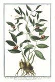 Botanische Weinleseillustration von Ruscus angustitifolius fructu summis ramuli innascente Anlage Lizenzfreie Stockfotos