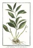Botanische Weinleseillustration von Ruscus latifolius fructu Folio innascente Anlage Lizenzfreie Stockbilder