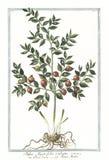 Botanische Weinleseillustration von Ruscus, myrti-folius aculeatus Anlage Lizenzfreies Stockfoto