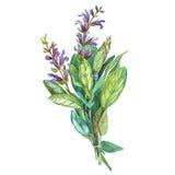 Botanische Zeichnung eines Salbeis Schöne Illustration des Aquarells von den Küchenkräutern, die für das Kochen benutzt werden un Stockbilder