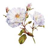 Botanisches Aquarell der weißen Rosen Stockbilder