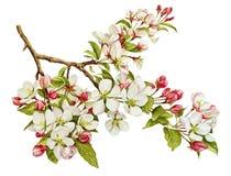 Botanisches Aquarell mit Apfelbaum in der Blüte Stockfoto