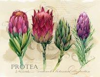 Botanisk affisch för tappning tryck för konst för utdragen vattenfärg för hand blom- med proteablommor stock illustrationer