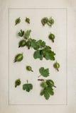 Botanisk herbarium för krusbär Blad och bär Royaltyfri Bild