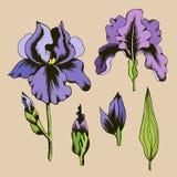 Botanisk illustration av purpurfärgade irisblommor royaltyfri illustrationer