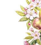 Botanisk illustration för Apple ram Kortdesign med det äppleblommor och bladet Isolerad botanisk illustration för vattenfärg Royaltyfri Bild