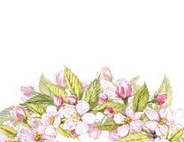 Botanisk illustration för Apple ram Kortdesign med det äppleblommor och bladet Isolerad botanisk illustration för vattenfärg Fotografering för Bildbyråer
