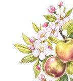 Botanisk illustration för Apple ram Kortdesign med det äppleblommor och bladet Isolerad botanisk illustration för vattenfärg Royaltyfria Foton