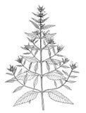 Botanisk illustration för Galeopsisladanum Arkivbild