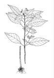 Botanisk illustration för Galeopsisspeciosa Arkivfoto