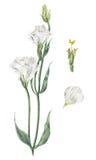 Botanisk illustration för handgjord vattenfärg av den vita eustomaen Arkivbilder