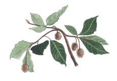 Botanisk illustration för vattenfärg av bokträdfilialen vektor illustrationer