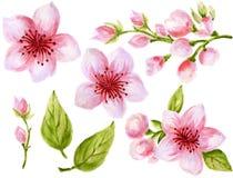 Botanisk illustration för vattenfärg av samlingen för blommor för kinesiska blommabeståndsdelar den rosa med sidor och blomningha royaltyfri illustrationer
