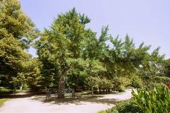 Botanisk naturlig monument - Ginkgobiloba - i Park som namnges efter M Gorky i staden av Taganrog, Rostov region, ryss Fede royaltyfria foton