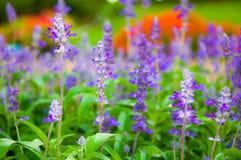 Botanisk ny lavendel Royaltyfri Foto