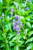 Botanisk ny lavendel Royaltyfria Foton