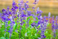 Botanisk ny lavendel Fotografering för Bildbyråer