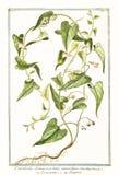 Botanisk tappningillustration av den Convolvolus scammoneaväxten Royaltyfri Fotografi